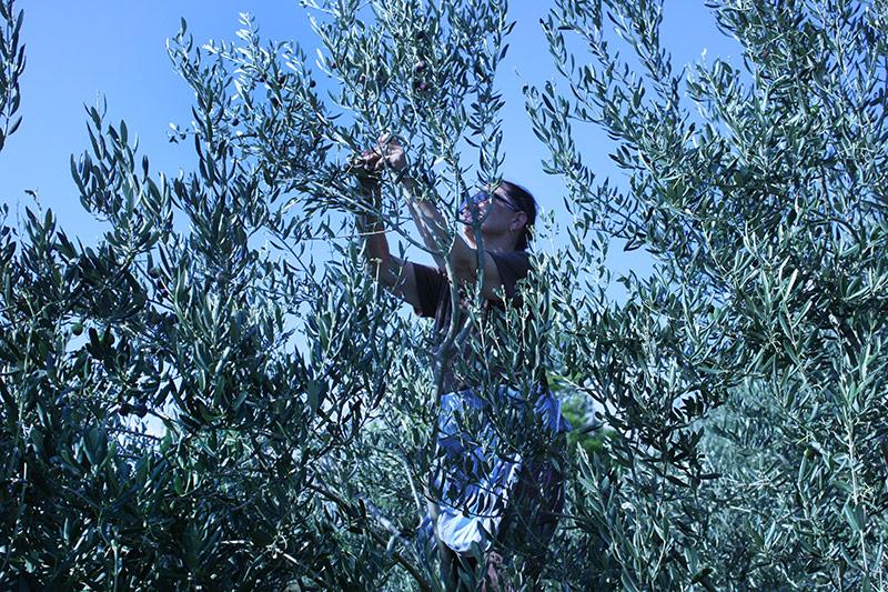 Olive harvest in Klis