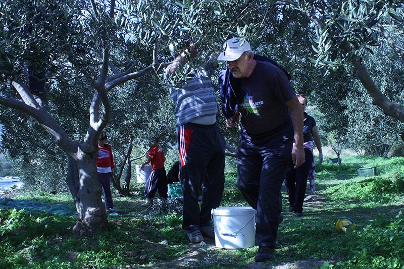 Family olive harvest in Croatia